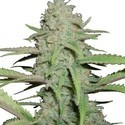 Sweet Bubble (Zativo Seeds) feminisee