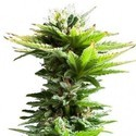Super Silver Haze (Zativo Seeds) feminized