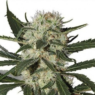 Northern Lights (Zativo Seeds) féminisée