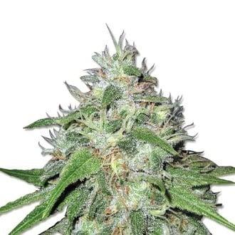 Amnesia Haze (Sensation Seeds) Féminisée