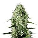Super Silver Haze (Sensation Seeds) Femminizzata