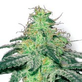 White Widow (Sensation Seeds) feminized