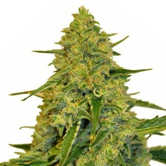 Sensation CBD (Sensation Seeds) Féminisée