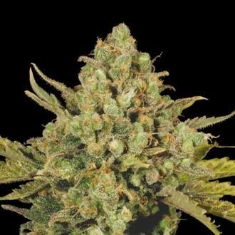 CBD-enriched Warlock (Serious Seeds) Féminisée