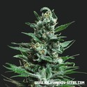 Moscow Blueberry Auto (Kalashnikov Seeds) feminized