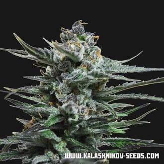 Acid Blue Auto (Kalashnikov Seeds) féminisée