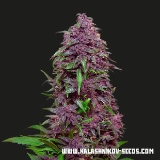 Purple Mazar Auto (Kalashnikov Seeds) féminisée