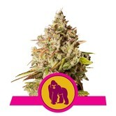 Royal Gorilla (Royal Queen Seeds) Féminisée