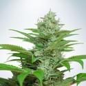 Auto CBD Star (Ministry of Cannabis) féminisée