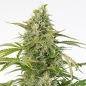 Cheese Auto CBD (Dinafem) feminized