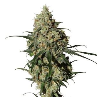 Orinoco (OR-1) (Medical Marijuana Genetics) féminisée
