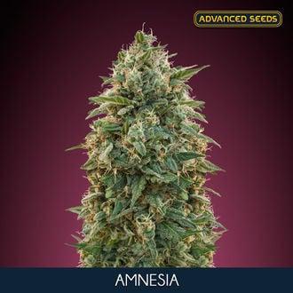 Amnesia (Advanced Seeds) féminisée