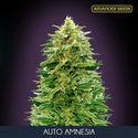 Auto Amnesia (Advanced Seeds) féminisée