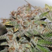 Hulk Smash (Dark Horse Genetics) Reguliere