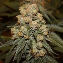 Gamma Berry (Dark Horse Genetics) Reguliere