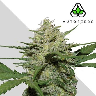 Girl Scout Cookies (Auto Seeds) féminisée