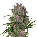 Purple Bud Automatic (White Label) Féminisée
