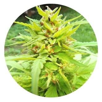 Golden Cannary (Top Tao Seeds) Régulière