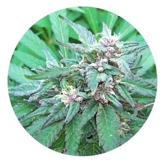 Blueberry Crystal (Top Tao Seeds) Régulière