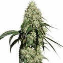 Nagual (NG-1) (Medical Marijuana Genetics) feminisee