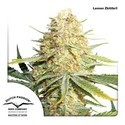 Lemon Zkittle (Dutch Passion) feminisee