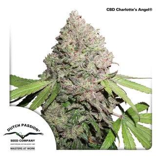 CBD Charlotte's Angel (Dutch Passion) Féminisée