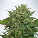 Instakush (Ministry of Cannabis) feminized