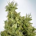 Mandarin Haze (Ministry Of Cannabis) Féminisée