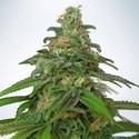 Auto Mandarin Haze (Ministry Of Cannabis) Féminisée