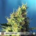 Sweet Pure CBD (Sweet Seeds) Féminisée