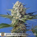 Crystal Candy F1 Fast Version (Sweet Seeds) Féminisée
