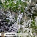Gorilla Girl (Sweet Seeds) Féminisée