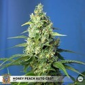 Honey Peach Auto CBD (Sweet Seeds) Féminisée