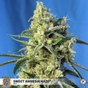 Sweet Amnesia Haze (Sweet Seeds) Féminisée