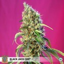 Black Jack CBD (Sweet Seeds) feminisée
