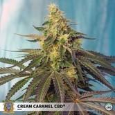 Cream Caramel CBD (Sweet Seeds) feminized