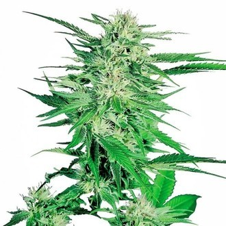 Big Bud (Sensi Seeds) féminisée