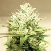 Blue Cheddar 1 (BSB Genetics) Féminisée