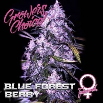 Blue Forest Berry (Growers Choice) féminisée