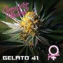 Gelato 41 (Growers Choice) féminisée