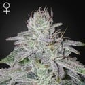 Franco's Lemon Cheese (Greenhouse Seeds) feminisee