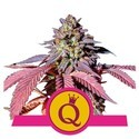 Purple Queen (Royal Queen Seeds) Féminisée