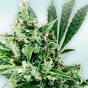 Atlant CBD (VIP Seeds) Féminisée
