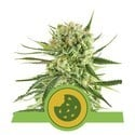 Royal Cookies Automatic (Royal Queen Seeds) feminized