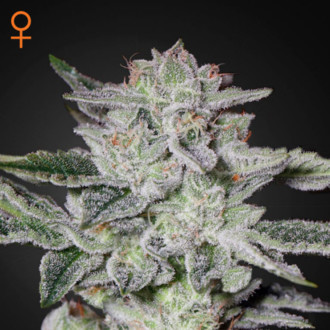 Sweet Valley Kush (Greenhouse Seeds) feminisee