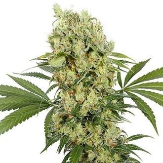 Buddha Medikit (Buddha Seeds) Féminisée