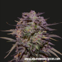 Purple Russian Express (Kalashnikov Seeds) Féminisée