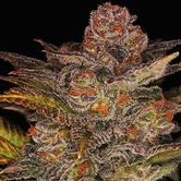 Glueberry Auto (Expert Seeds) Féminisée