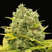 Dinamed CBD Plus (Dinafem) Féminisée