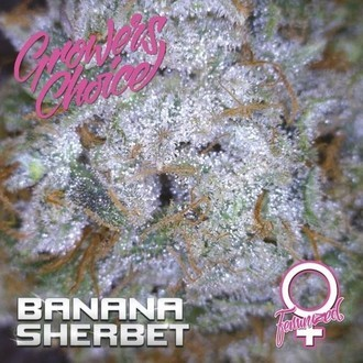 Banana Sherbet (Growers Choice) Féminisée